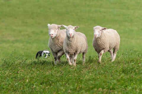 母绵羊有角吗?真相来了