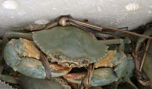 青蟹怎么保存不会死 青蟹死了还能吃吗