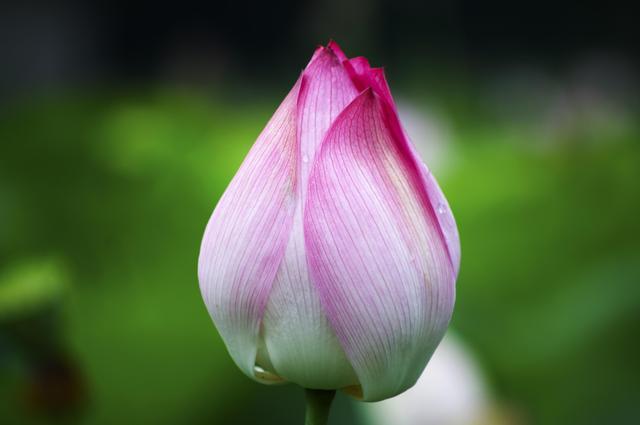 《说文解字》第69课:荷、莲、茄、芙蕖、芙蓉、菡萏是一种东西吗