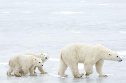 北极熊为什么不怕冷?看了这个故事就知道了