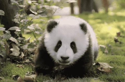 大熊猫为什么被视为中国的国宝(看国宝是如何诞生的)