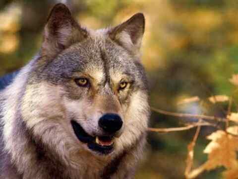 白眼狼是什么意思?白眼狼的由来及10个特征