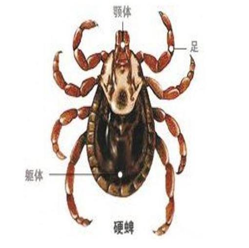 夏季蜱虫对宠物、人的危害有多大?下面来认识一下它们吧