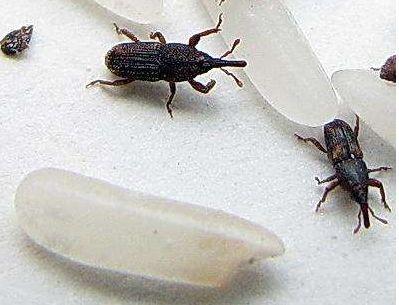 大米生虫怎么办?小小妙招来解决 放半年都不长虫,值得收藏