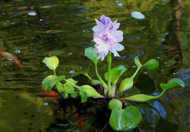 十种常见的水生植物