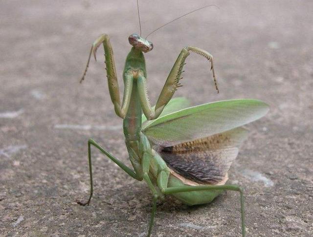 螳螂连自己的配偶都吃,究竟是为什么?