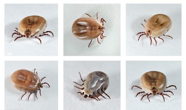 蜱虫咬人后的伤口图,预防蜱虫的方法