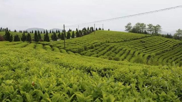 「发展」东和的乡村振兴,竟是源自一缕茶香?