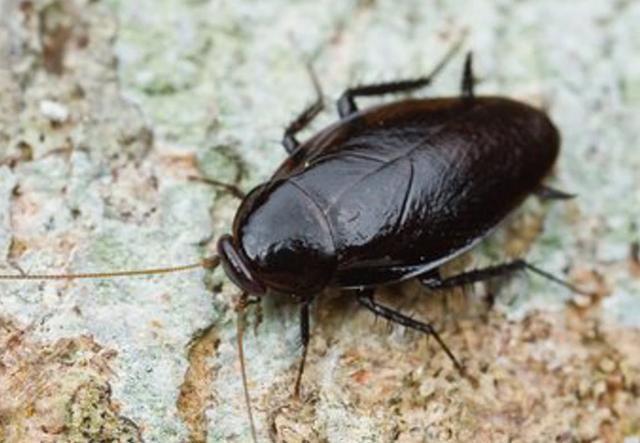 家里蟑螂怎么消灭最彻底?教你一个小窍门