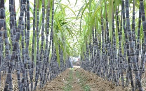 甘蔗的产地(中国五大甘蔗之乡)