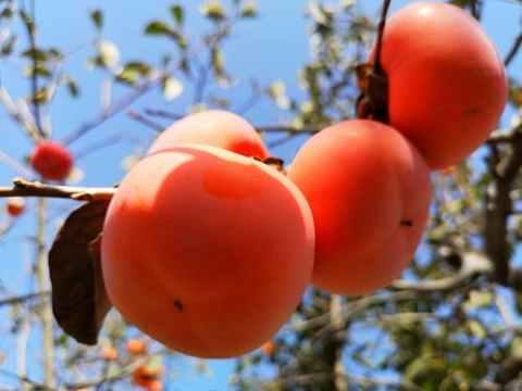 柿子不能和什么食物一起吃
