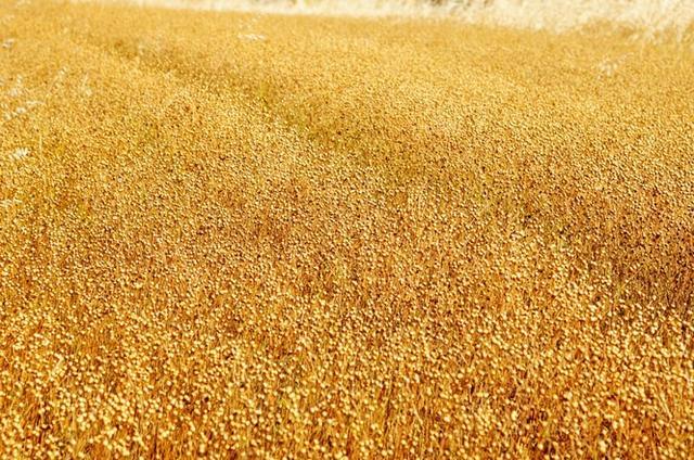 中国历史上的五谷到底指的是哪五种粮食作物?