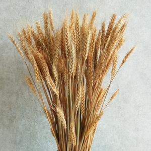 农业始祖后稷的故事:麦从杏来