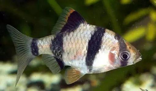 十种最适合在草缸里饲养的鱼