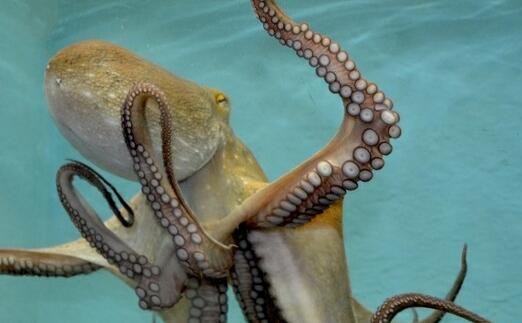 章鱼几只脚、几个心脏